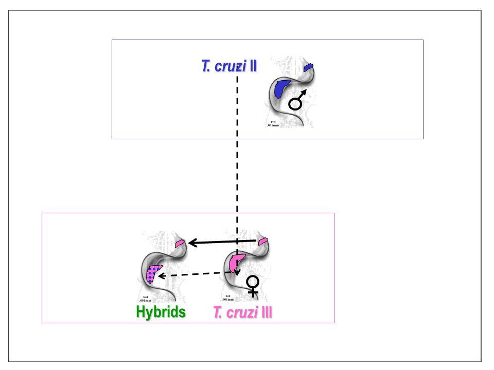 Hybrids T. cruzi II T. cruzi III