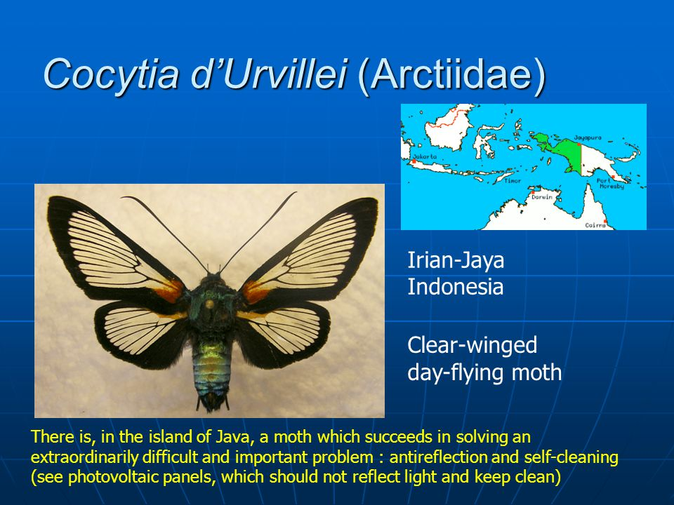 Cocytia dUrvillei (Arctiidae) Clear-winged day-flying moth Irian-Jaya Indonesia There is, in the island of Java, a moth which succeeds in solving an extraordinarily difficult and important problem : antireflection and self-cleaning (see photovoltaic panels, which should not reflect light and keep clean)