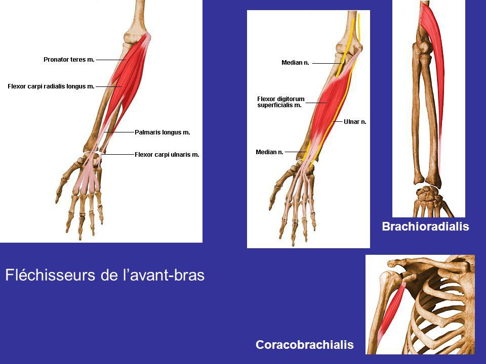 Fléchisseurs de lavant-bras Brachioradialis Coracobrachialis