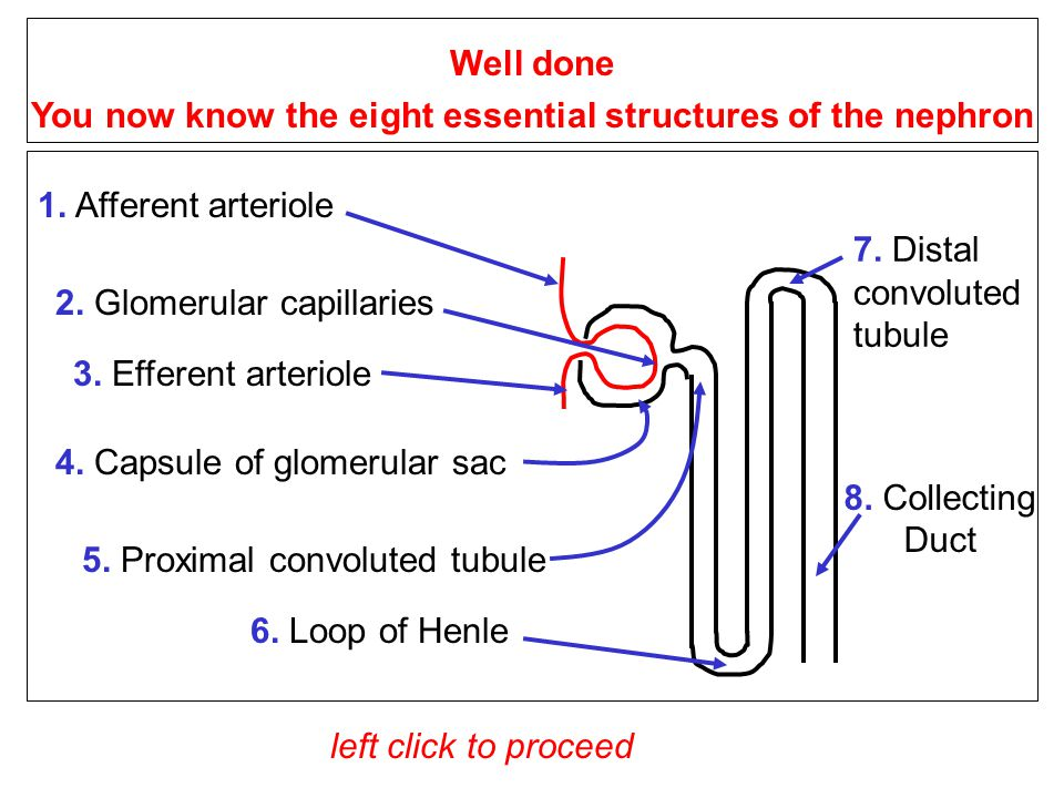 1.Afferent arteriole 3. Efferent arteriole 4. Capsule of glomerular sac 2.