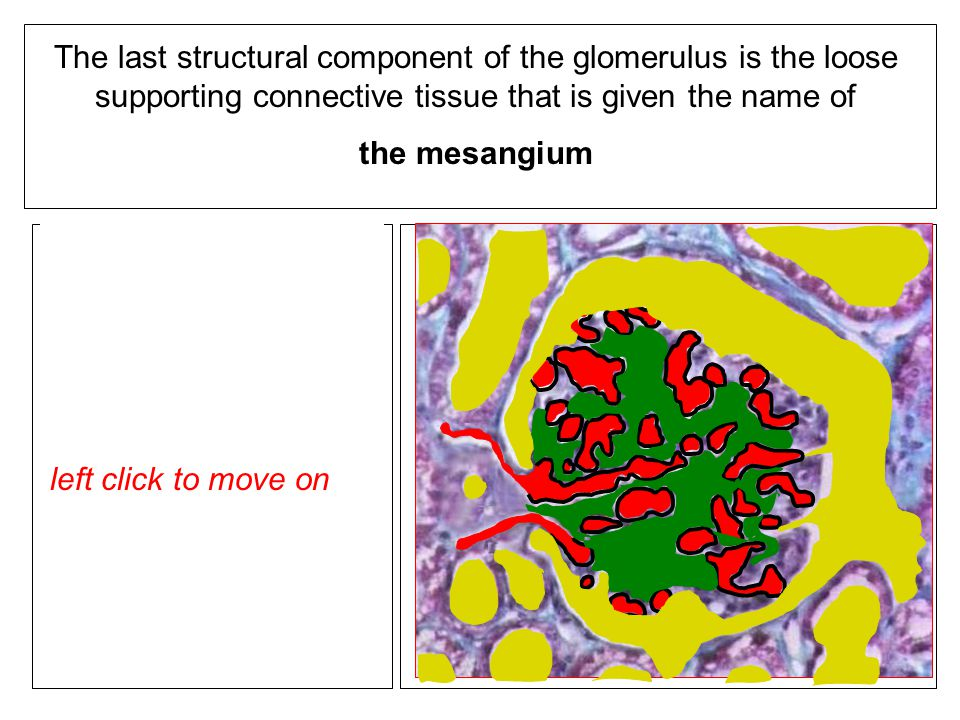 The last structural component of the glomerulus is the loose supporting connective tissue that is given the name of the mesangium When you are ready to insert the mesangial matrix into the diagram - left click to show left click to move on