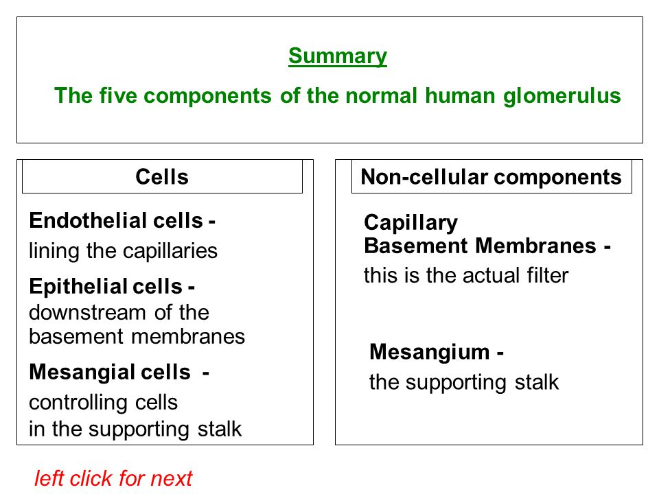 left click for next Summary The five components of the normal human glomerulus Cells Endothelial cells - lining the capillaries Epithelial cells - downstream of the basement membranes Mesangial cells - controlling cells in the supporting stalk Non-cellular components Capillary Basement Membranes - this is the actual filter Mesangium - the supporting stalk