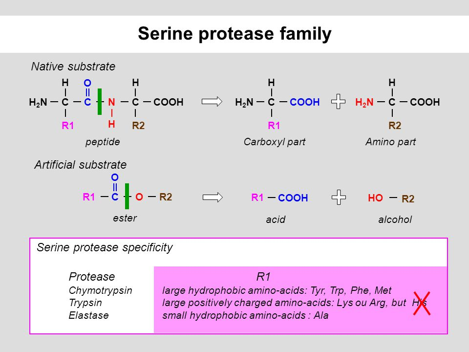 Serine protease family Artificial substrate COOH R1 R2 HO R2OCR1 O ester acidalcohol Native substrate CCOOH H R1 H2NH2NCCOOH H R2 H2NH2NCCOOH H R2 NCC