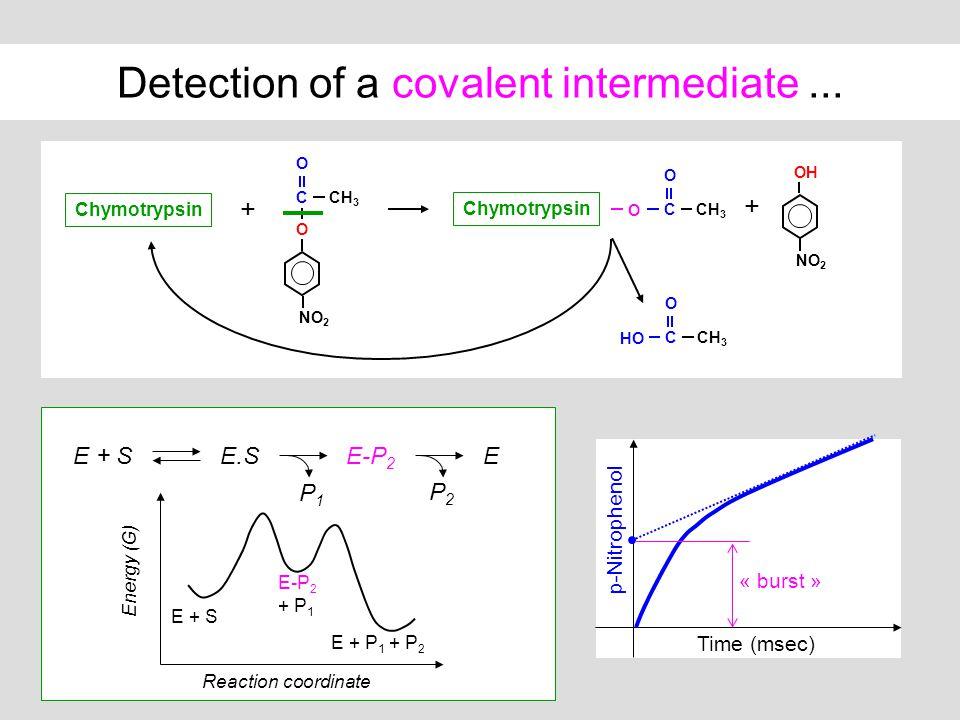 Detection of a covalent intermediate... Time (msec) p-Nitrophenol « burst » CCH 3 O O NO 2 OH NO 2 E + S Chymotrypsin + + CCH 3 O HO CCH 3 O O Chymotr