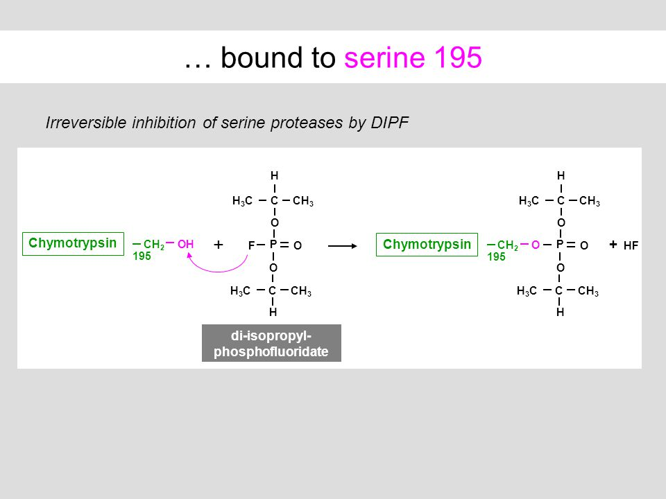 … bound to serine 195 Irreversible inhibition of serine proteases by DIPF + CH 2 OH Chymotrypsin 195 CCH 3 H O H3CH3C P OF C H O H3CH3C + HF CCH 3 H O