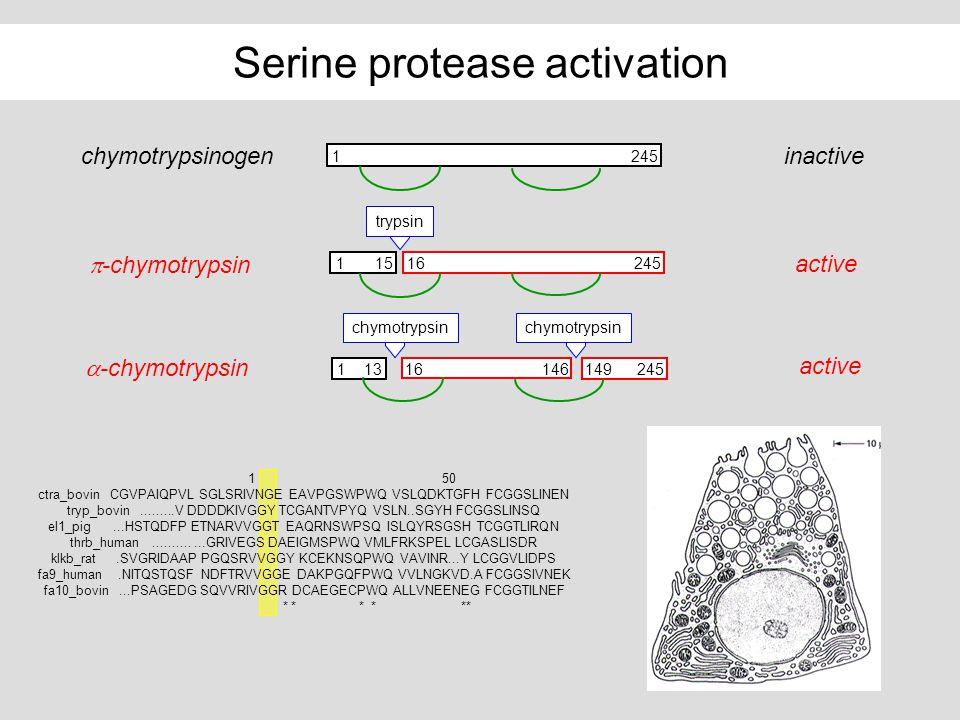 Serine protease activation chymotrypsinogen 1245 inactive -chymotrypsin 24515161 trypsin active -chymotrypsin 24516131461491 chymotrypsin active 1 50