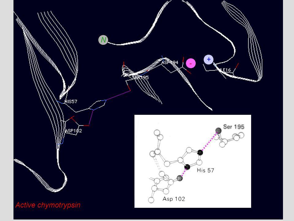 - + N Active chymotrypsin