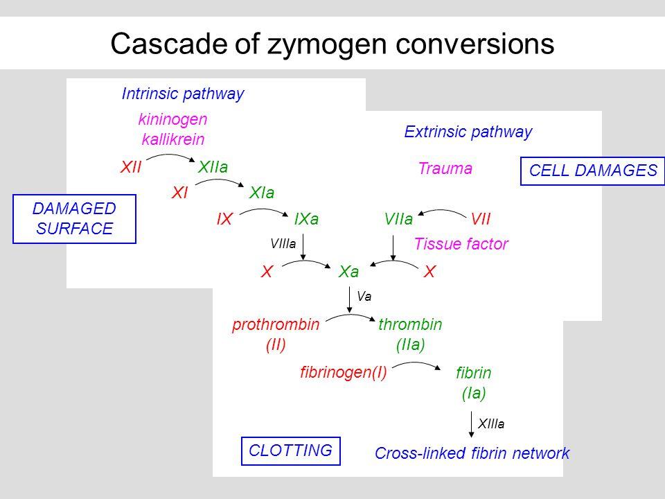 Cascade of zymogen conversions X VIIaVII Tissue factor Trauma Extrinsic pathway kininogen kallikrein XIIXIIa XIXIa XXa IXIXa VIIIa Intrinsic pathway C