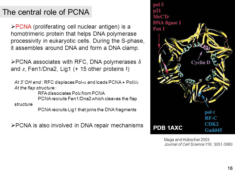 16 The central role of PCNA PCNA (proliferating cell nuclear antigen) is a homotrimeric protein that helps DNA polymerase processivity in eukaryotic c