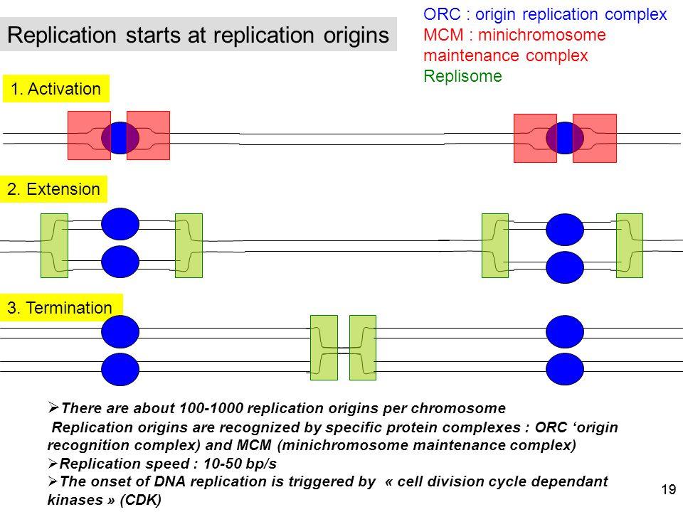 19 There are about 100-1000 replication origins per chromosome Replication origins are recognized by specific protein complexes : ORC origin recogniti