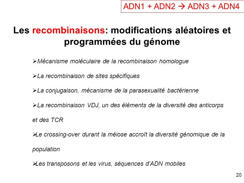 Les recombinaisons: modifications aléatoires et programmées du génome ADN1 + ADN2 ADN3 + ADN4 Mécanisme moléculaire de la recombinaison homologue La r