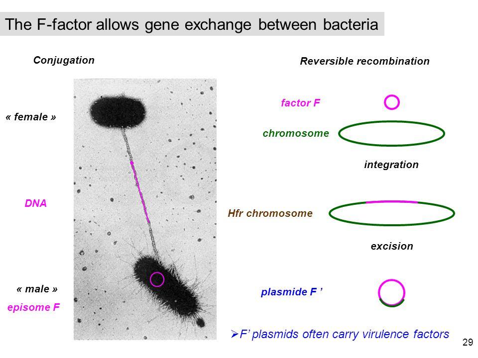 Conjugation Reversible recombination « female » « male » DNA episome F factor F chromosome Hfr chromosome plasmide F integration excision F plasmids o