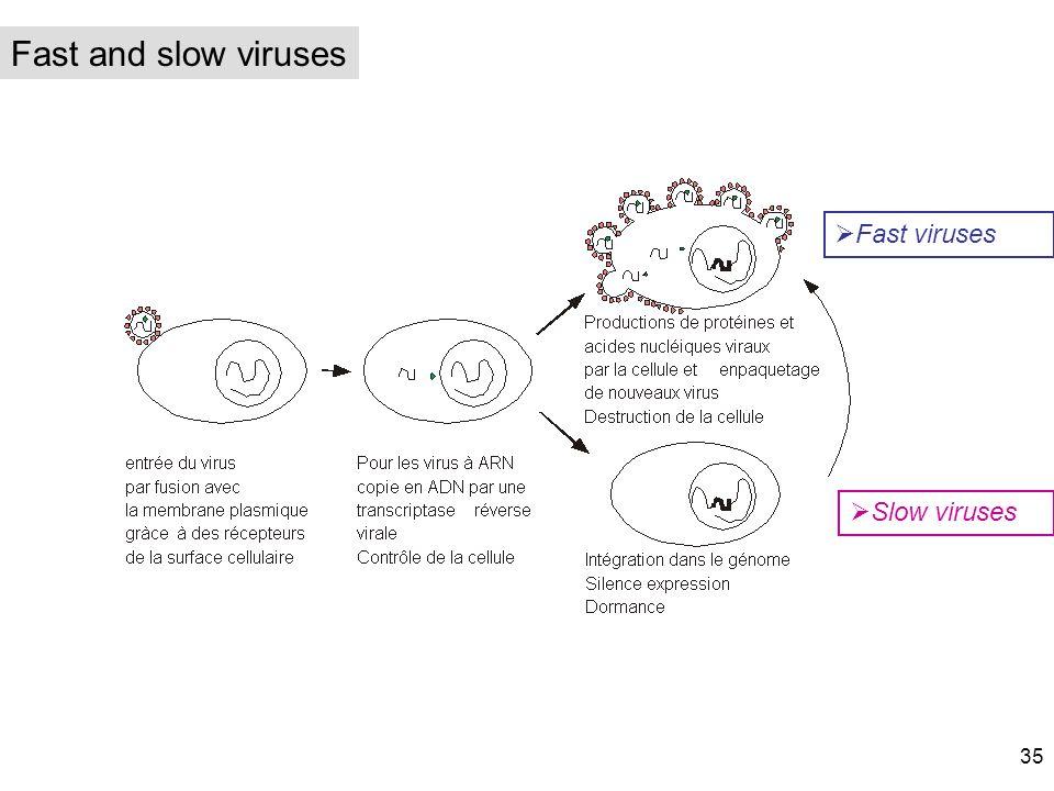 Fast viruses Slow viruses Fast and slow viruses 35