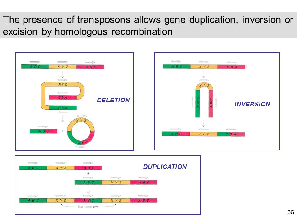 The presence of transposons allows gene duplication, inversion or excision by homologous recombination DELETION INVERSION DUPLICATION 36