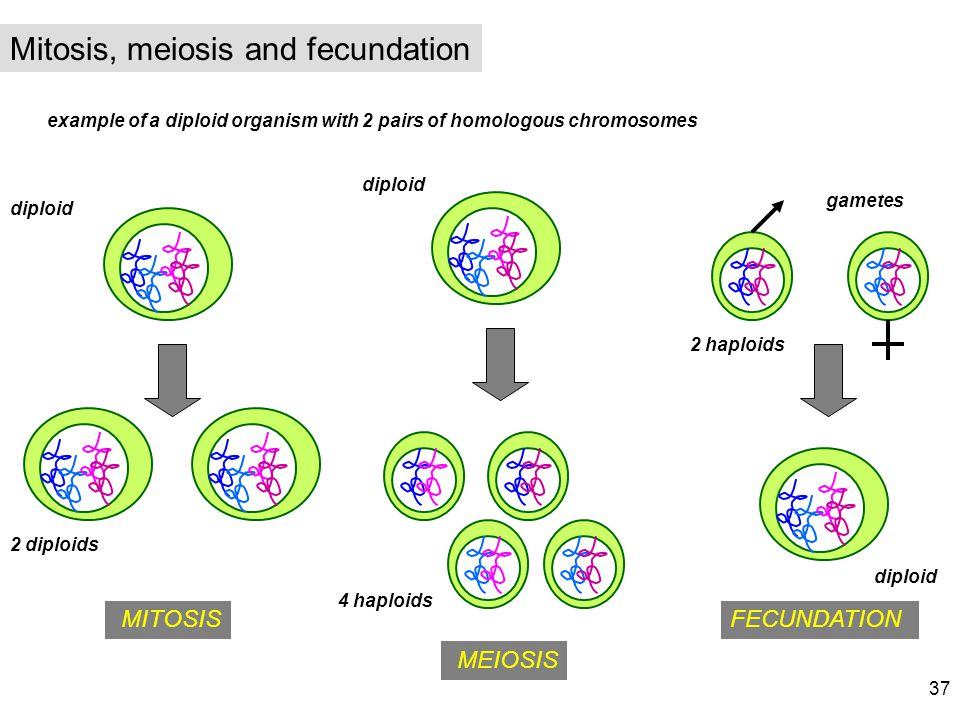 example of a diploid organism with 2 pairs of homologous chromosomes MITOSIS MEIOSIS FECUNDATION diploid 4 haploids gametes 2 diploids diploid 2 haplo