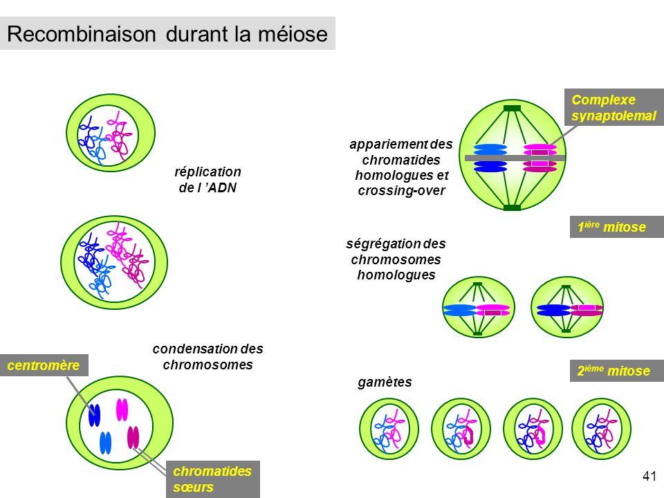 réplication de l ADN ségrégation des chromosomes homologues gamètes condensation des chromosomes centromère chromatides sœurs appariement des chromati