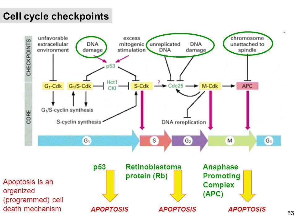 Cell cycle checkpoints APOPTOSIS p53 APOPTOSIS Retinoblastoma protein (Rb) APOPTOSIS Anaphase Promoting Complex (APC) Apoptosis is an organized (progr