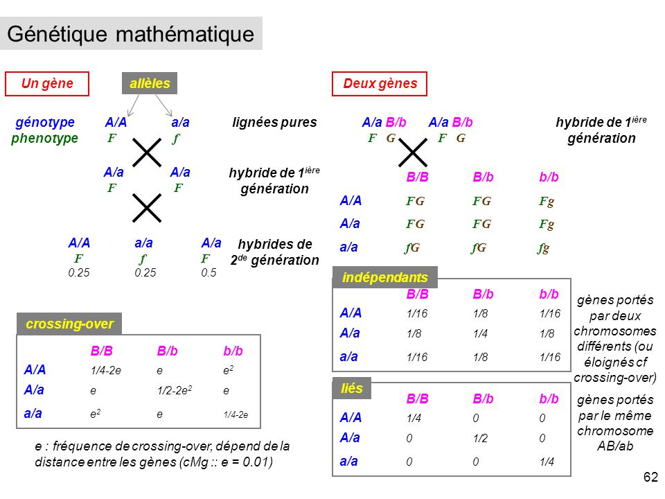 Un gène génotype phenotype allèles lignées puresA/Aa/a F f A/a F A/Aa/aA/a F fF 0.250.250.5 hybride de 1 ière génération hybrides de 2 de génération D