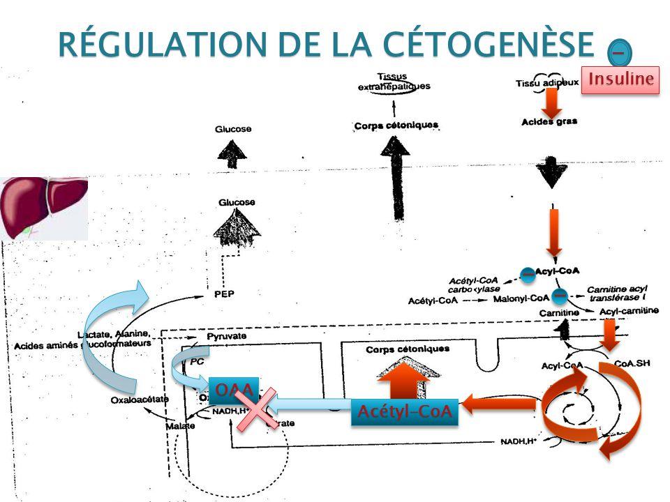 RÉGULATION DE LA CÉTOGENÈSE OAAOAA Acétyl-CoAAcétyl-CoA - - InsulineInsuline -