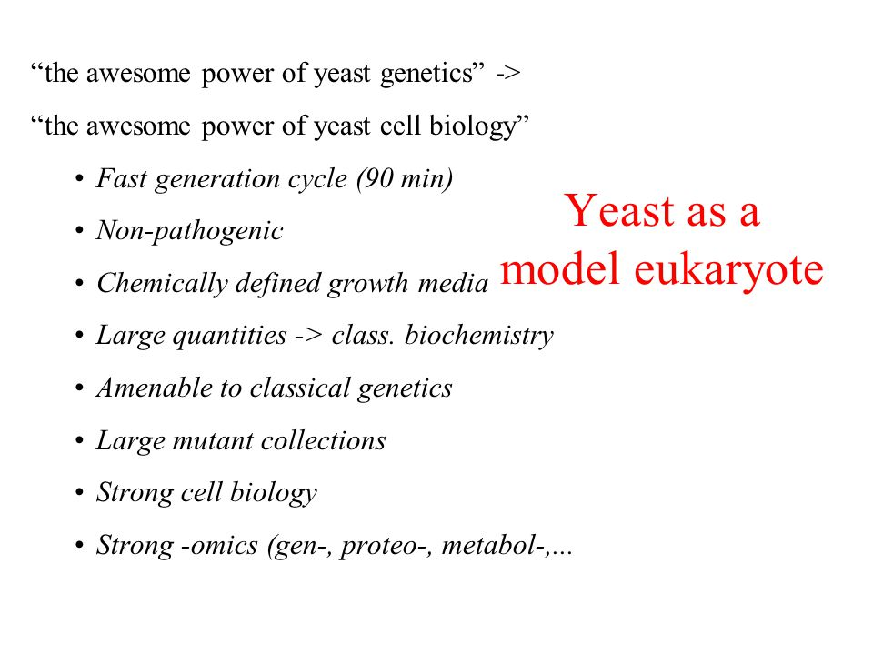 Yeast as a model eukaryote the awesome power of yeast genetics -> the awesome power of yeast cell biology Fast generation cycle (90 min) Non-pathogenic Chemically defined growth media Large quantities -> class.