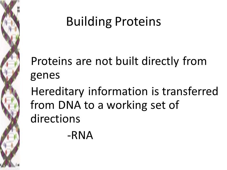 Building Proteins Proteins are not built directly from genes Hereditary information is transferred from DNA to a working set of directions -RNA