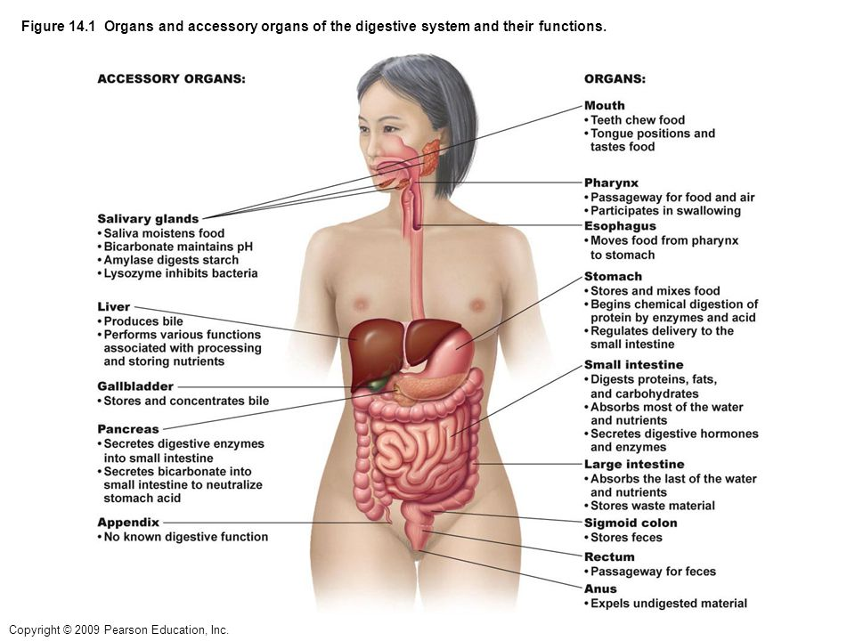 digestive enzymes and their functions essay