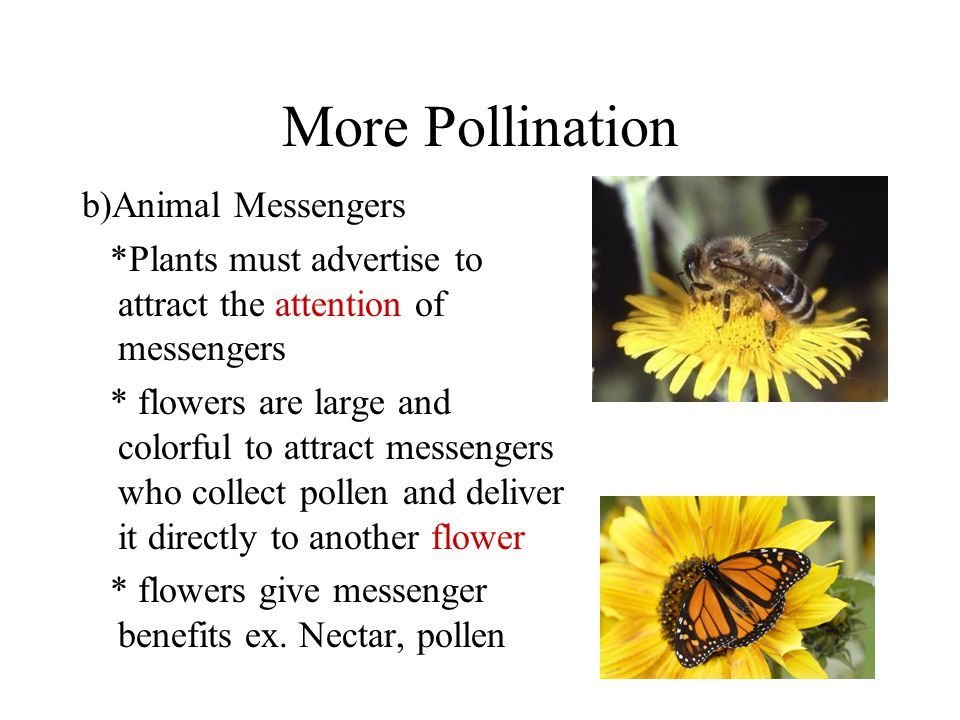 More Pollination b)Animal Messengers *Plants must advertise to attract the attention of messengers * flowers are large and colorful to attract messengers who collect pollen and deliver it directly to another flower * flowers give messenger benefits ex.