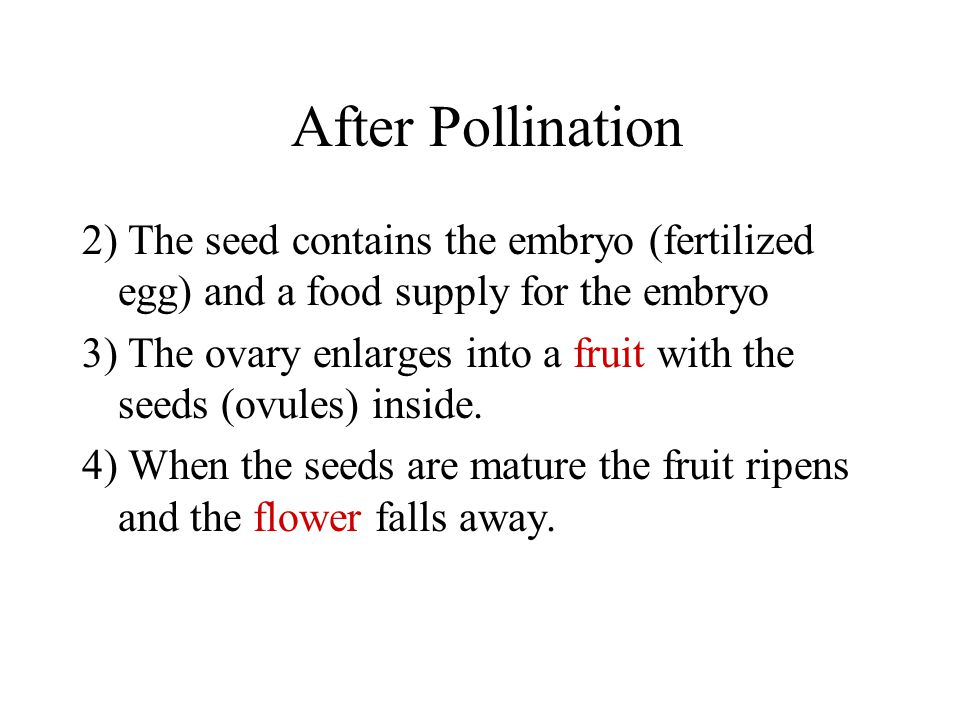 After Pollination 2) The seed contains the embryo (fertilized egg) and a food supply for the embryo 3) The ovary enlarges into a fruit with the seeds (ovules) inside.
