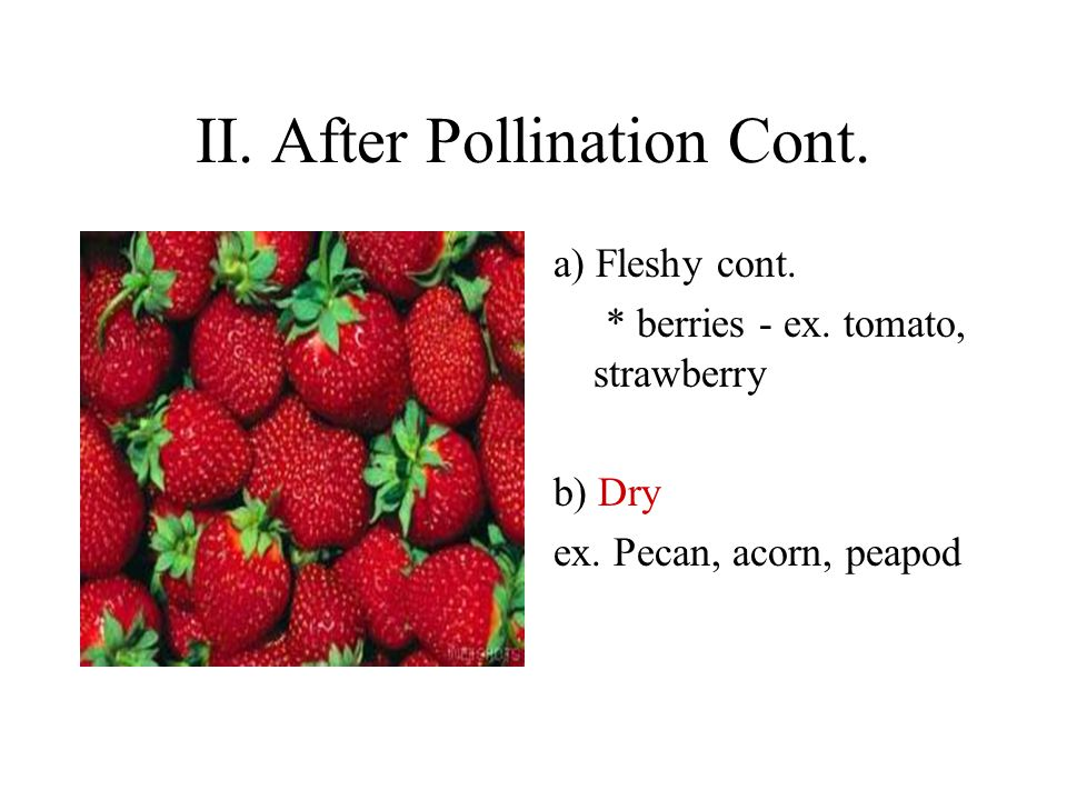 II. After Pollination Cont. a) Fleshy cont. * berries - ex.