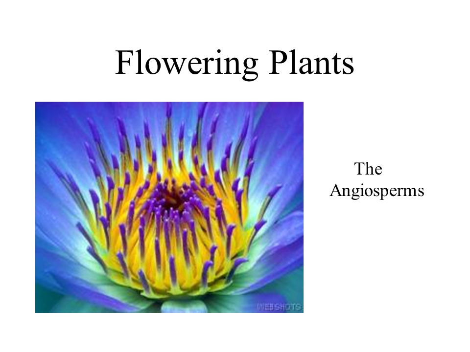 Flowering Plants The Angiosperms