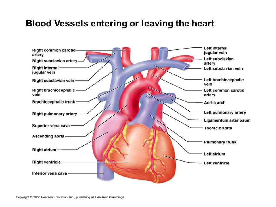 Blood vessels human anatomy chapter ppt video online download 23 ccuart Images