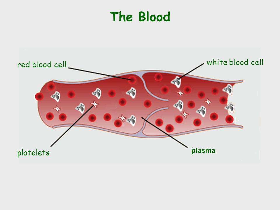 The Blood plasma red blood cell white blood cell platelets