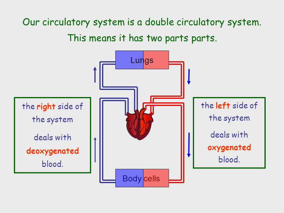 Lungs Body cells Our circulatory system is a double circulatory system.