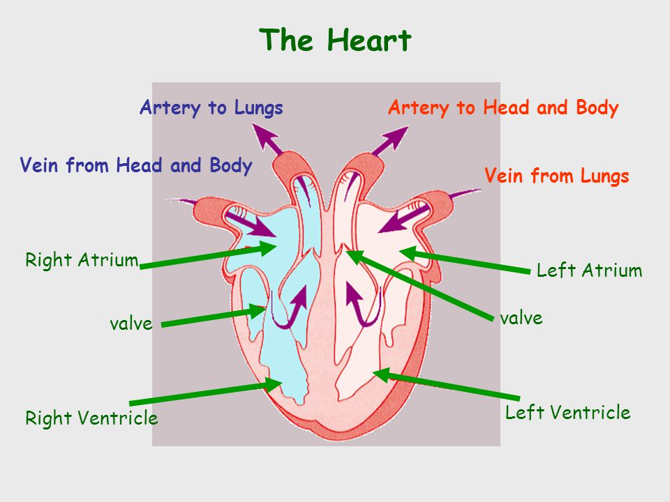 The Heart Left Ventricle Left Atrium Right Atrium Right Ventricle valve Vein from Lungs Artery to Head and BodyArtery to Lungs Vein from Head and Body valve