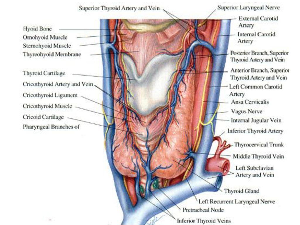 Anatomy Of Neck Dr Muslim Kandel Ppt Download