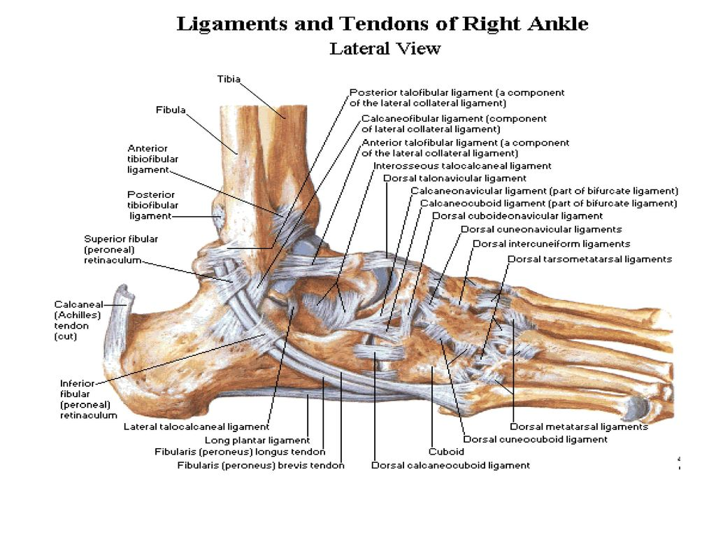 Enchanting Ankle Anatomy Ligaments And Tendons Images - Physiology ...