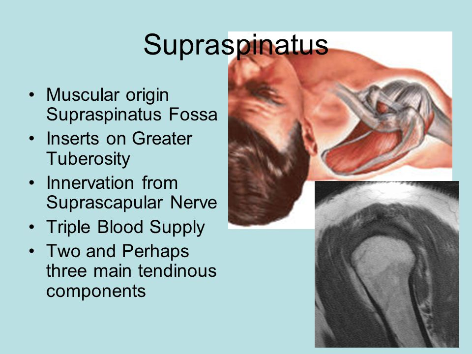 Muscular origin Supraspinatus Fossa Inserts on Greater Tuberosity Innervation from Suprascapular Nerve Triple Blood Supply Two and Perhaps three main