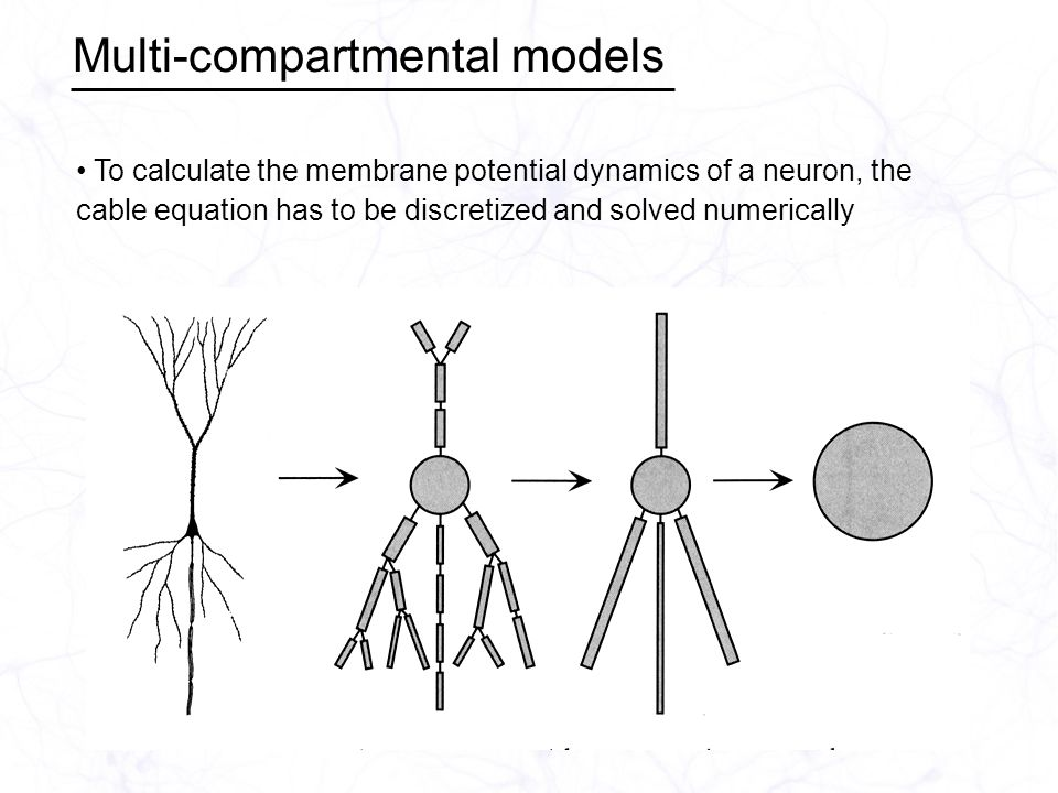 Multi-compartmental models To calculate the membrane potential dynamics of a neuron, the cable equation has to be discretized and solved numerically