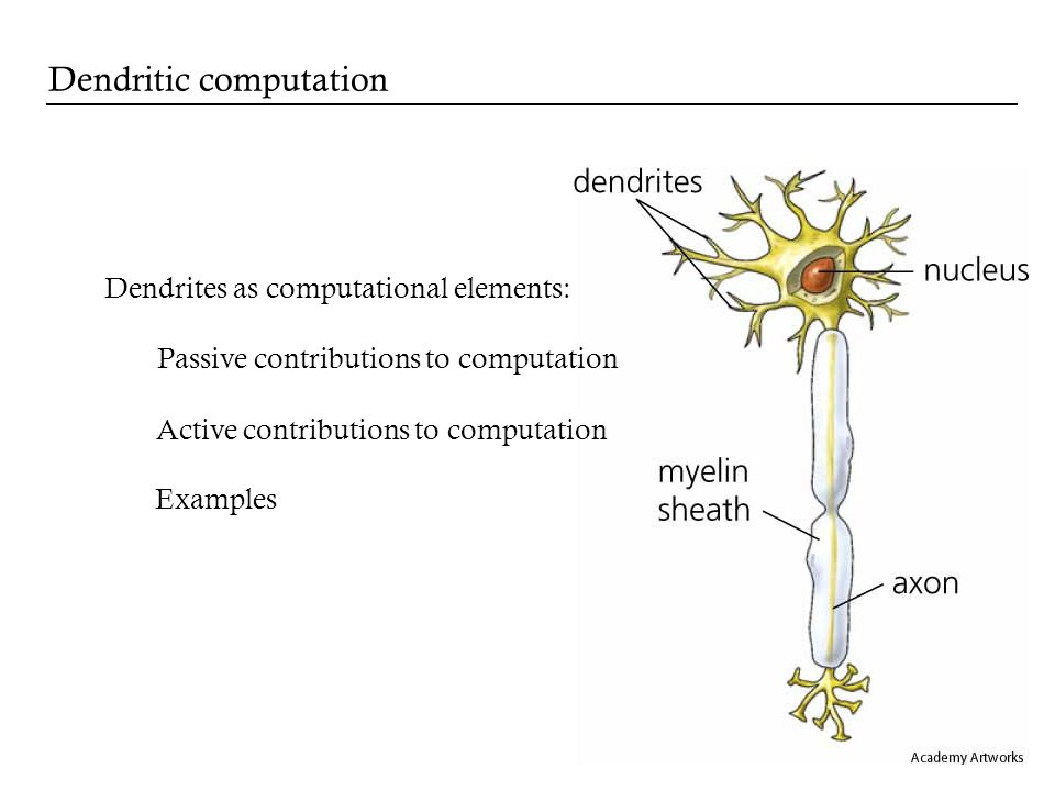 Passive contributions to computation Active contributions to computation Dendrites as computational elements: Examples Dendritic computation