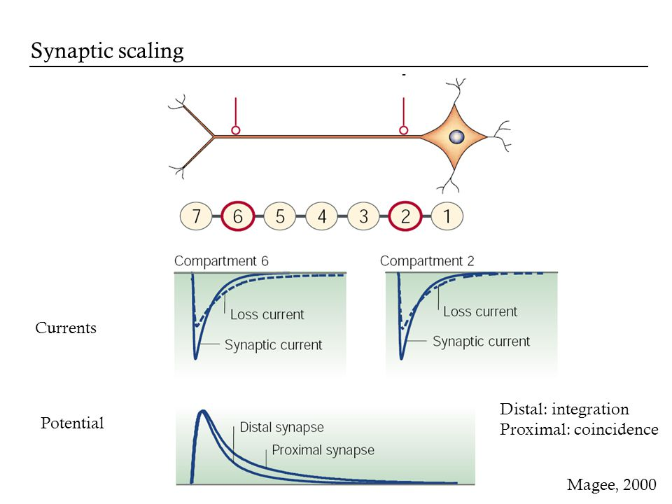Currents Potential Distal: integration Proximal: coincidence Magee, 2000 Synaptic scaling