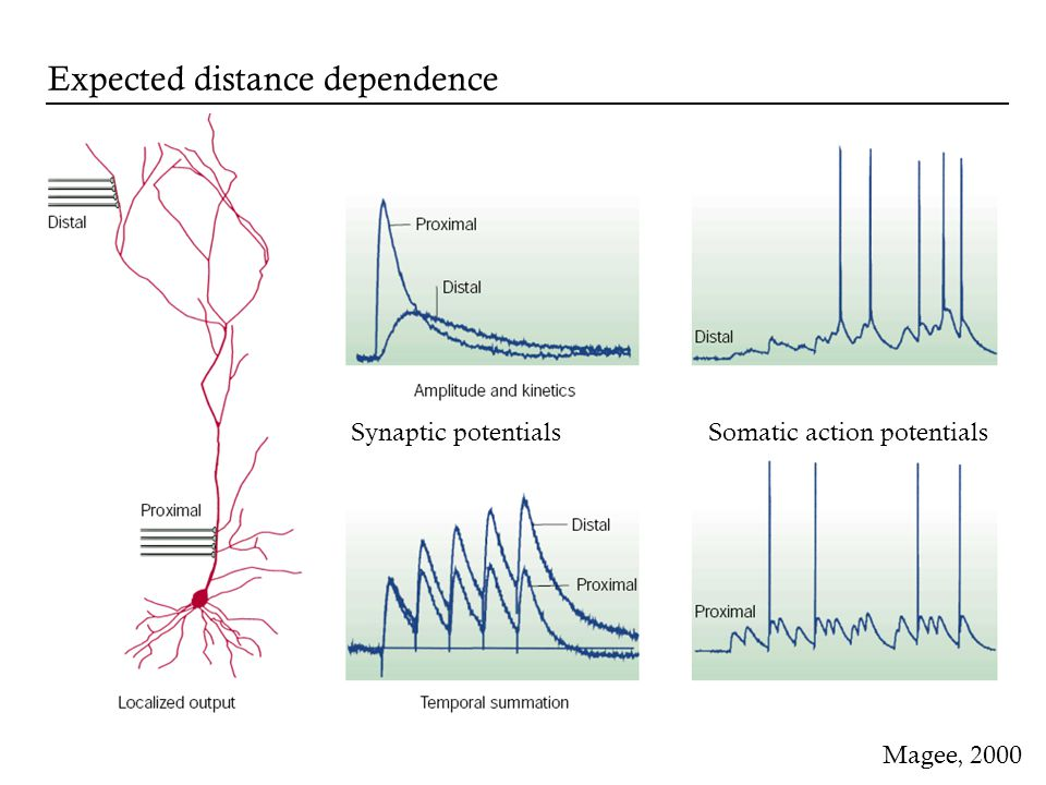 Synaptic potentialsSomatic action potentials Magee, 2000 Expected distance dependence