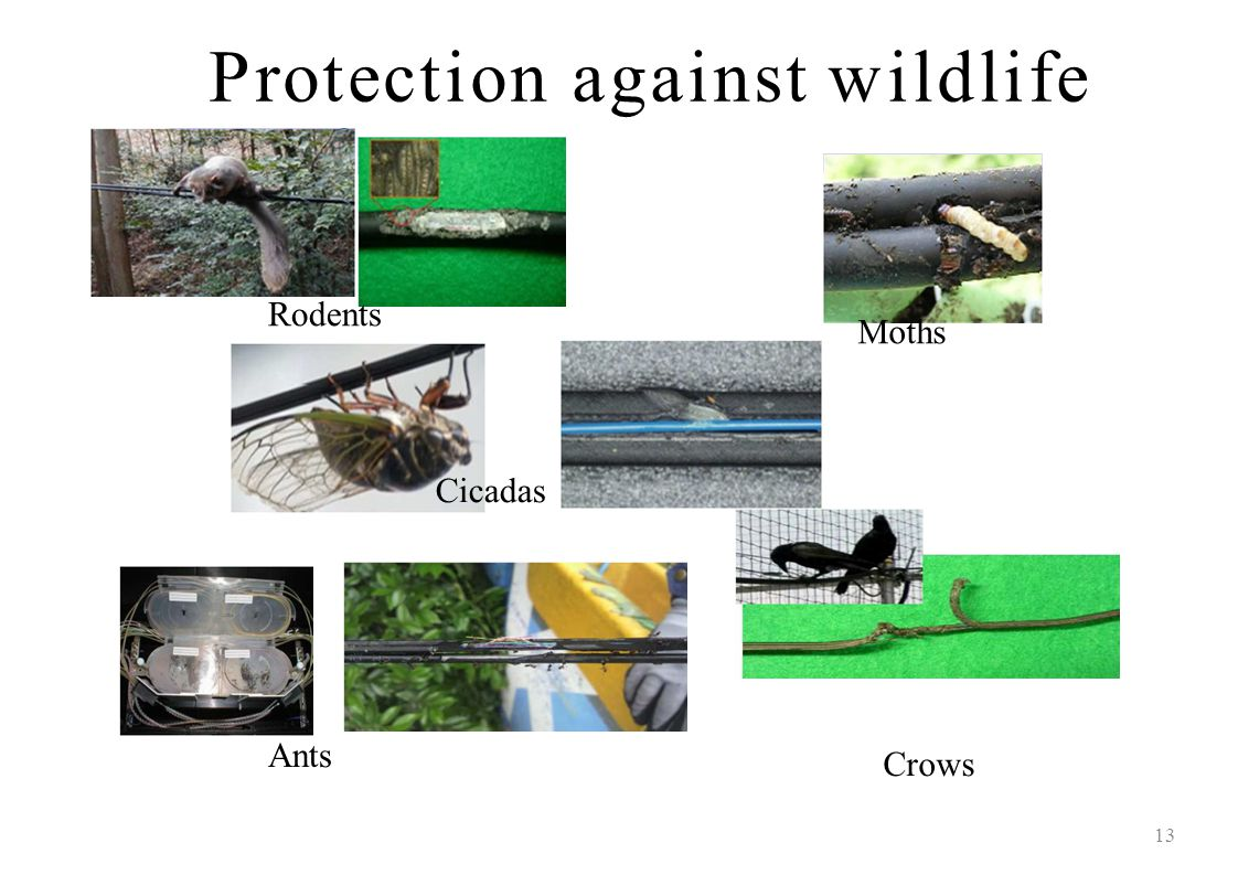 Protection against wildlife 13 Rodents MothsMoths Cicadas Ants Crows