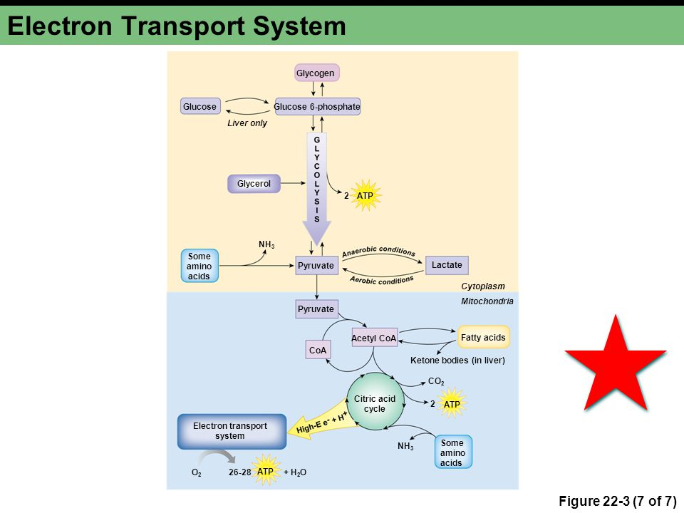 Electron Transport System Figure 22-3 (7 of 7) Glucose Some amino acids Lactate Glycogen Glucose 6-phosphate Liver only Fatty acids Electron transport