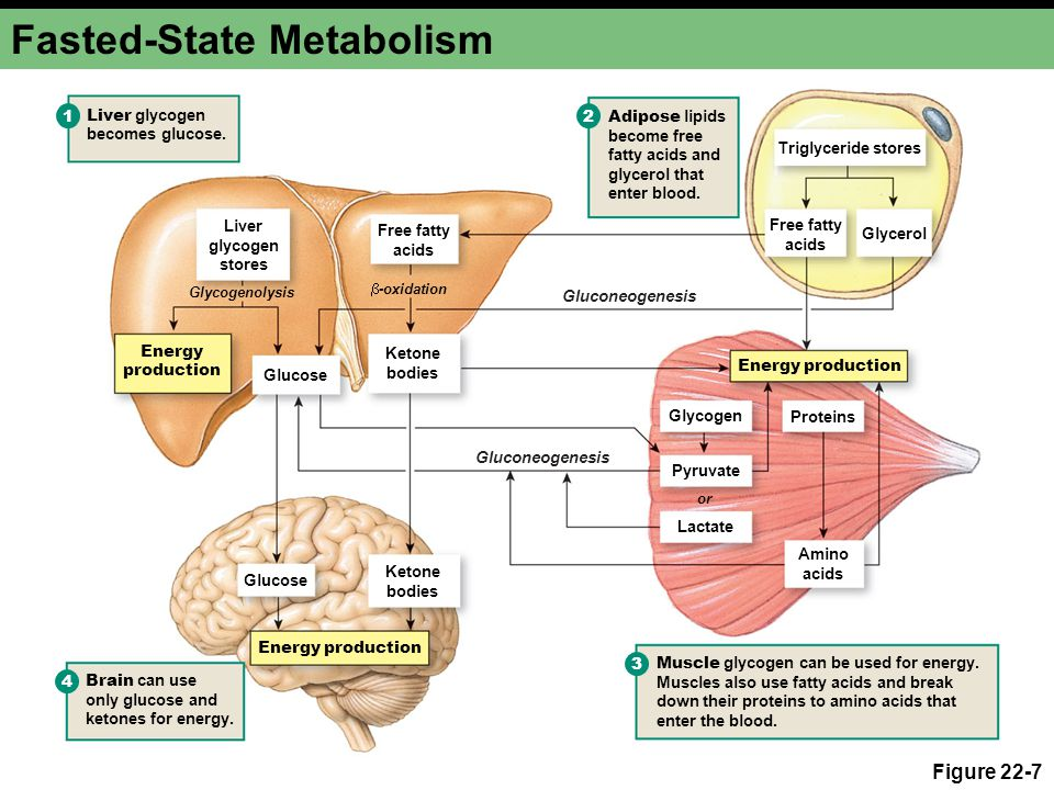 Fasted-State Metabolism Figure 22-7 Liver glycogen stores Energy production Free fatty acids Glycerol Amino acids Ketone bodies Glucose Adipose lipids