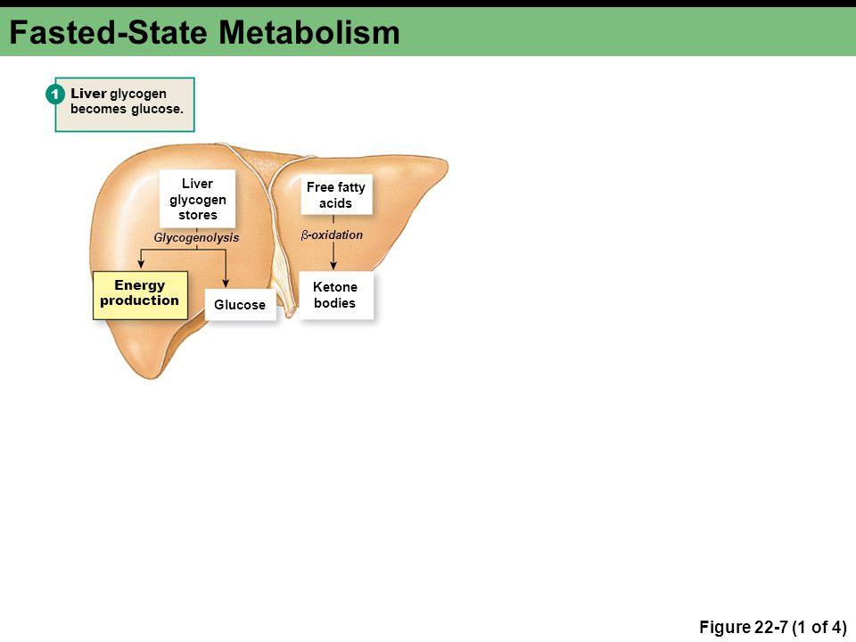 Fasted-State Metabolism Figure 22-7 (1 of 4) Liver glycogen stores Free fatty acids Ketone bodies Glucose 1 Energy production Liver glycogen becomes glucose.