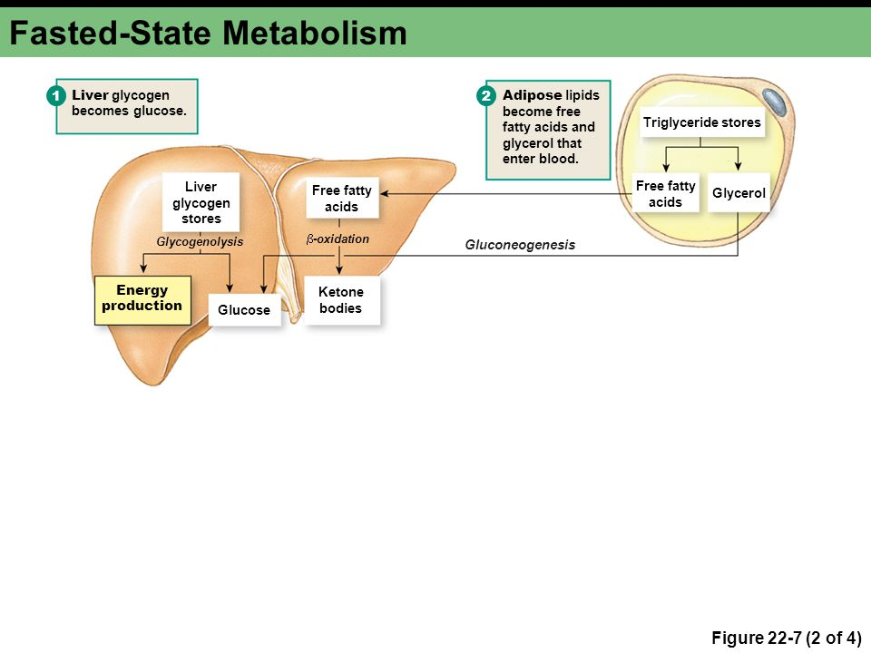 Fasted-State Metabolism Figure 22-7 (2 of 4) Liver glycogen stores Free fatty acids Glycerol Ketone bodies Glucose Adipose lipids become free fatty ac
