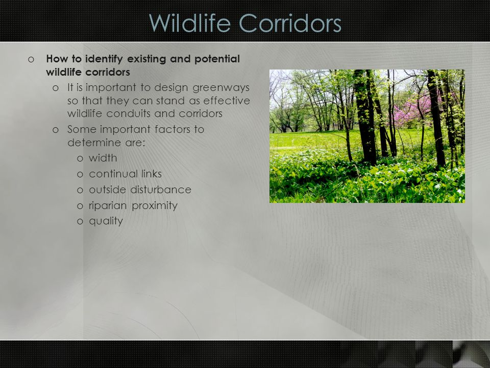 Wildlife Corridors o How to identify existing and potential wildlife corridors oIt is important to design greenways so that they can stand as effective wildlife conduits and corridors oSome important factors to determine are: owidth ocontinual links ooutside disturbance oriparian proximity oquality