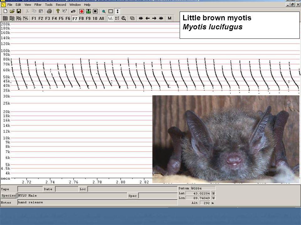 Little brown myotis Myotis lucifugus