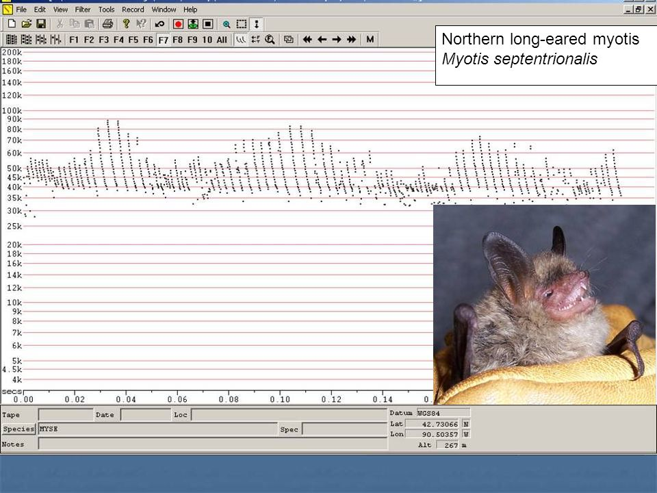 Northern long-eared myotis Myotis septentrionalis