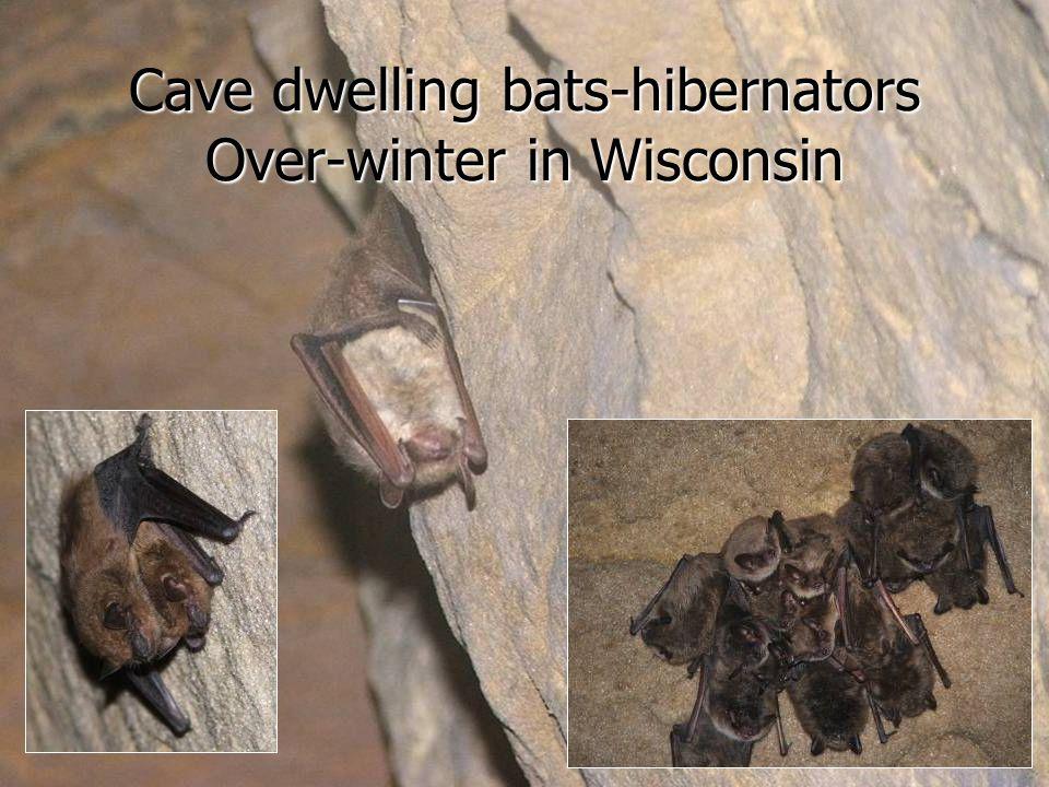 Cave dwelling bats-hibernators Over-winter in Wisconsin